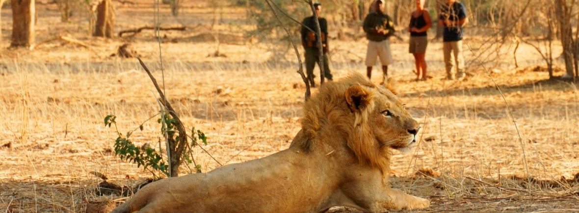 Walking safari in Zambia- a lion spotted from Old Mondoro in Lower Zambezi National Park