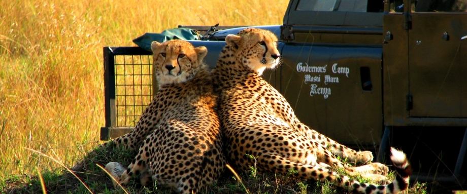 Cheetahs spotted on a luxury safari in Kenya