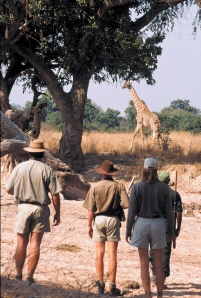 Giraffe spotted on a walking safari with Robin Pope Safaris