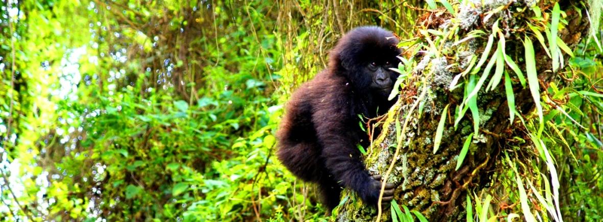 Luxury Gorilla Trekking with Extraordinary Africa
