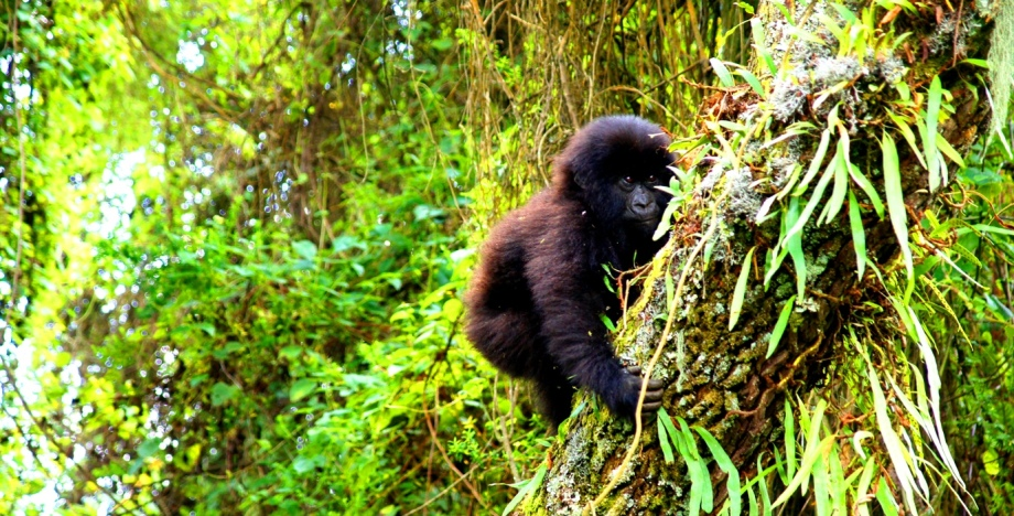Luxury Gorilla Trekking with Extraordinary Africa