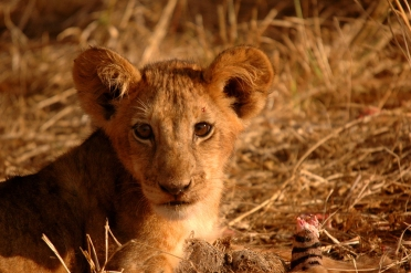 Lion Cub Spotted on a game drive from Selous Impala Camp
