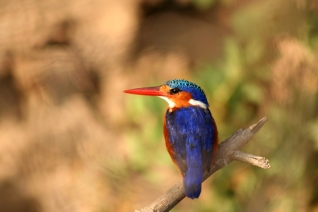 Malachite Kingfisher Spotted from Selous Impala Camp