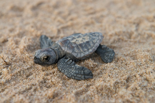 Baby Turtle at Rocktail Bay