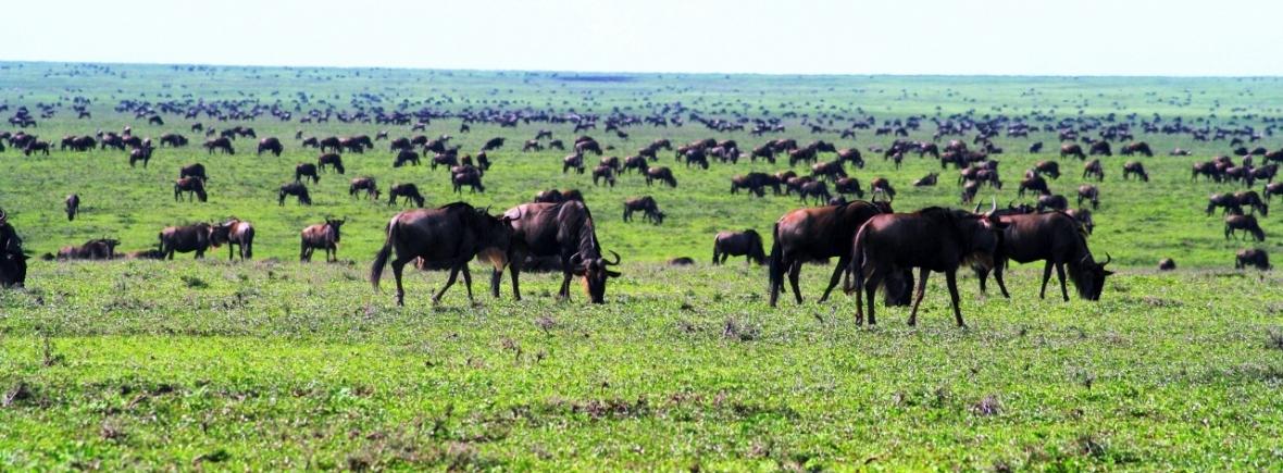 Watching the wildebeest migration