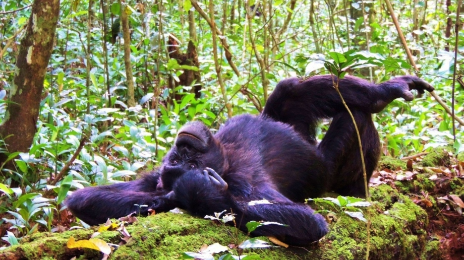 Chimpanzee trekking in Kibale Forest