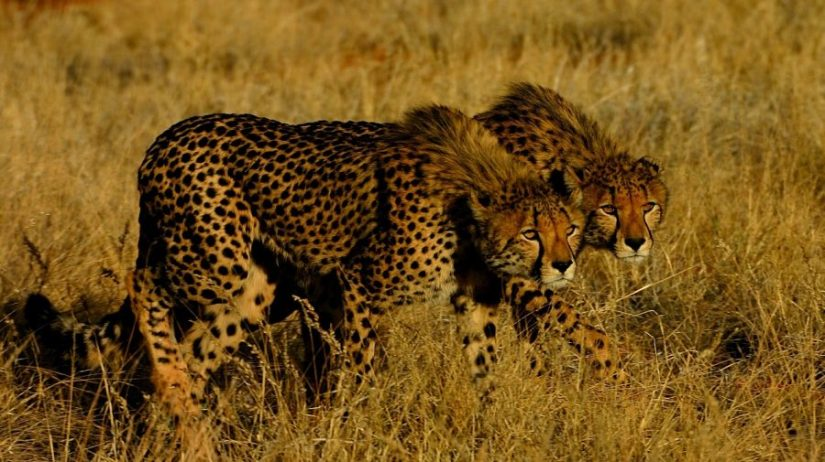 Luxury Safari in Madikwe and Kalahari
