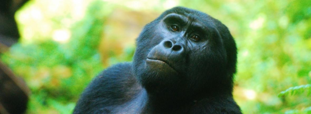 Luxury Gorilla Trekking in Uganda