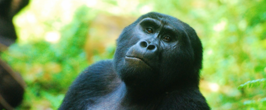 Luxury Gorilla Trekking in Uganda