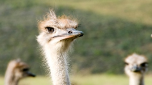 Visiting an ostrich farm in Oudtshoorn