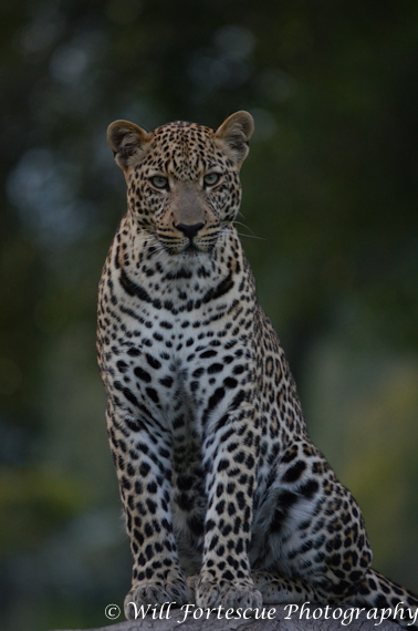 Leopard on safari