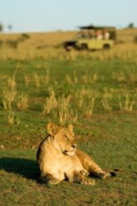 Lioness spotted on safari at Sayari