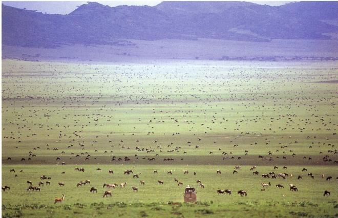 Game drive from Serengeti Safari Camp