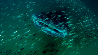 Diving with whale sharks, Mafia