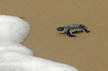 Turtle Hatching, Pangani