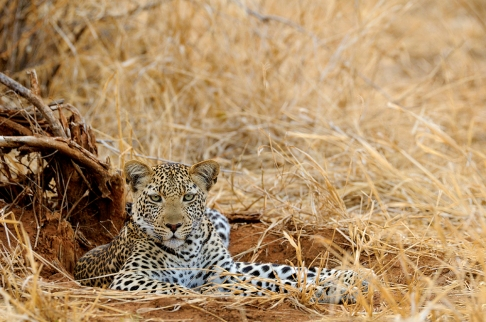Leopard near Kwihala