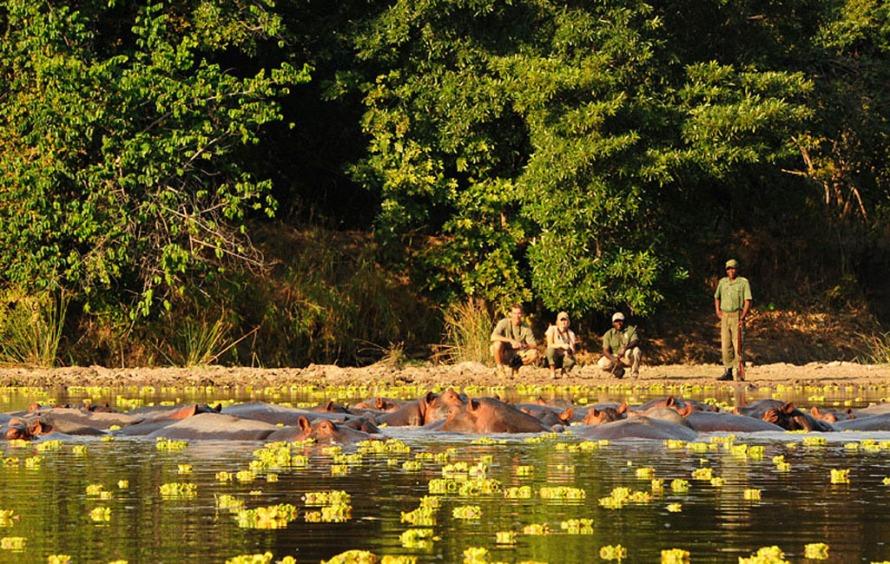 Hippos on a walking safari near Kasaka