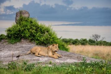 Lion spotted on game drive from Little Vumbura, Okavango Delta