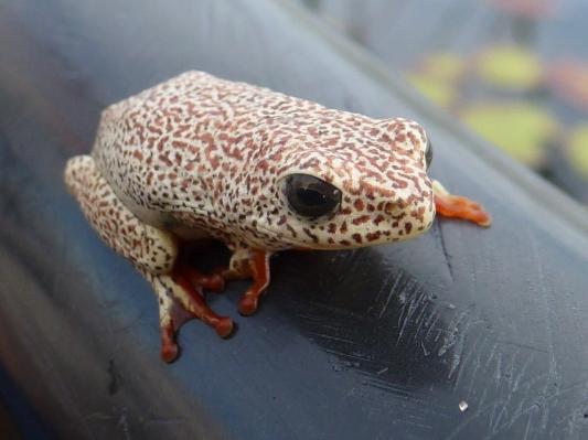 Reed frog on mokoro trip Okavango Delta