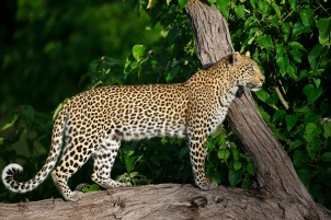 Leopard on safari at Chitabe