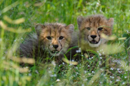 Cheetah cubs at Chitabe