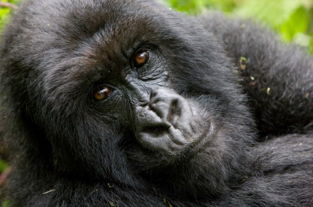 Gorilla From Sabyinyo Silverback Lodge