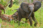 Africa; Botswana; Chobe National Park; Sanctuary Chobe Chilwero; Elephant Baby