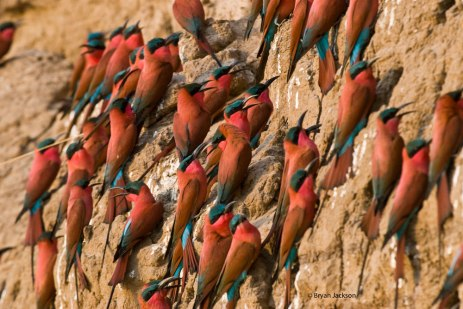 Carmine Bee Eaters South Luangwa