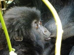Gorilla infant, volcanoes national park