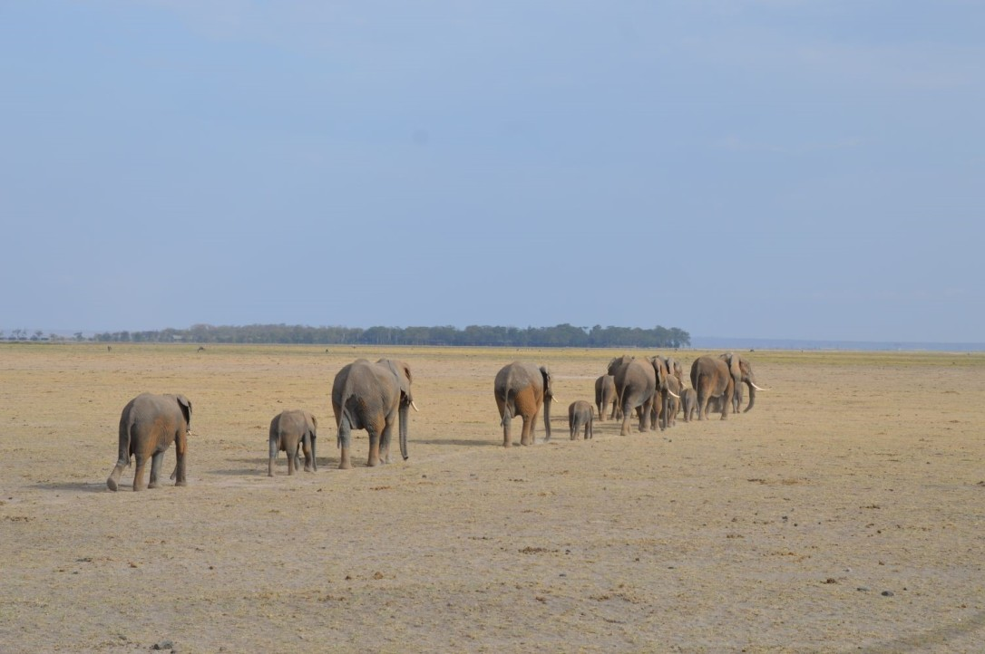Herd of Elephants in Amboseli National Park