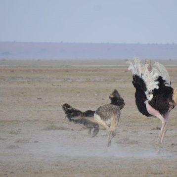 Ostrich fun.