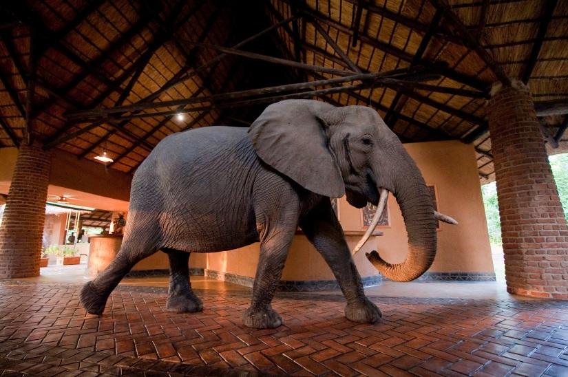 Elephants at Mfuwe Lodge
