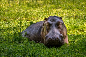 Zungulila Hippo