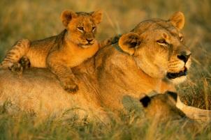 Zarafa Lions