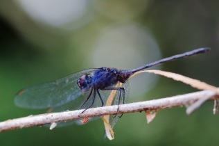 Dragonfly at Kanana
