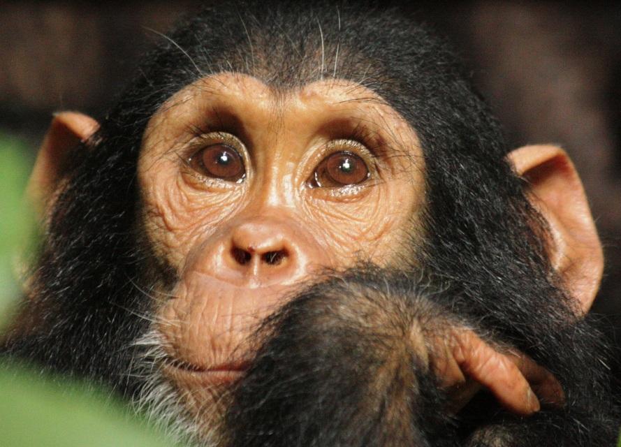 Baby Chimp at Greystoke Mahale