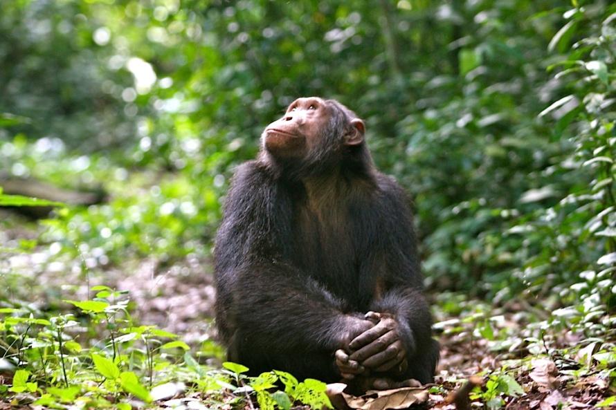 Chimp from Kyambura Gorge Lodge