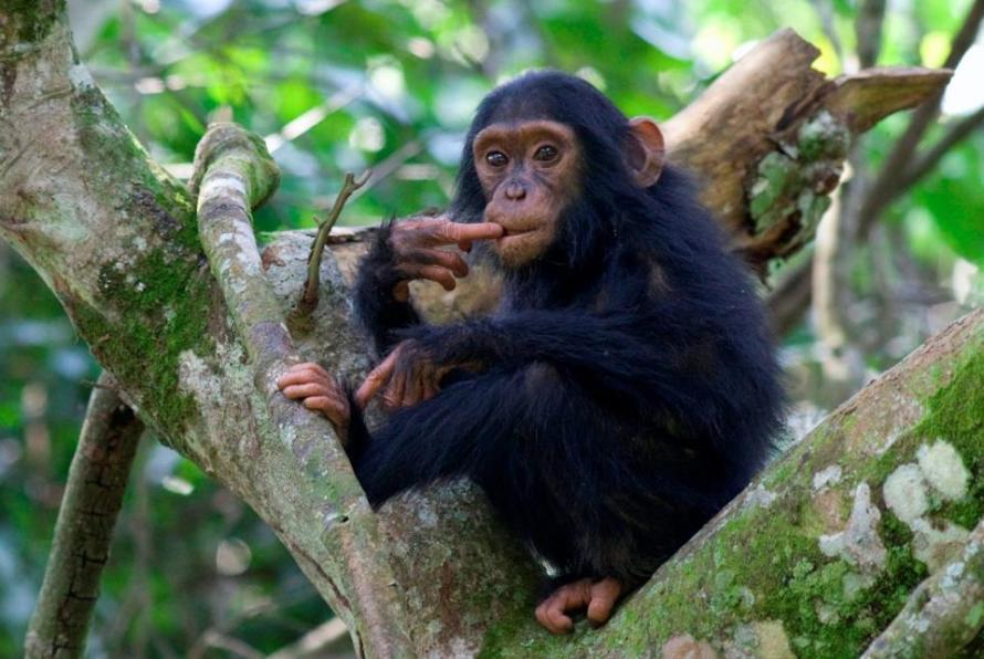 Kyambura Chimp