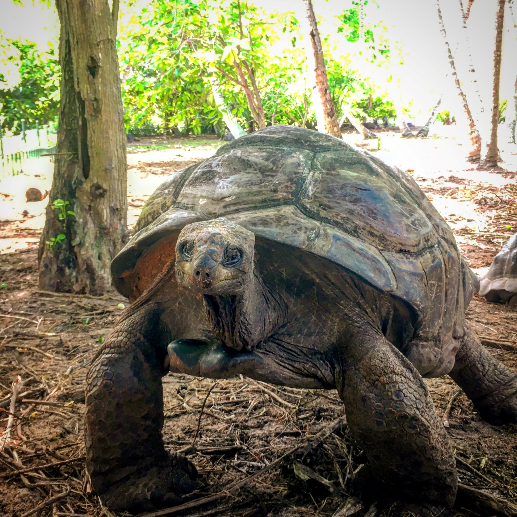 Tortoise on Denis Island