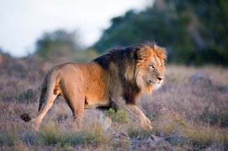 Lion at Amakhala