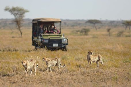 Cheetahs on game drive at Namiri Plains