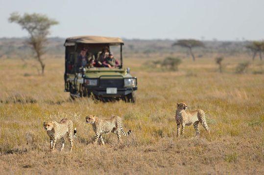 Cheetahs on game drive at Namiri Plains