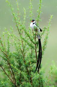 Whydah Bird