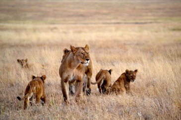Lions near Namiri