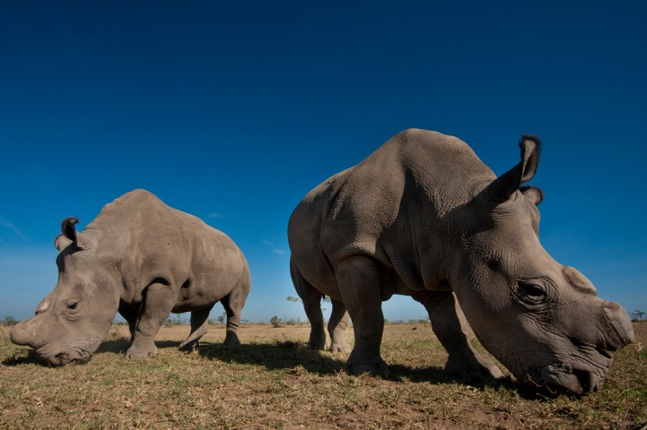Rhinos at Ol Pejeta Bush Camp