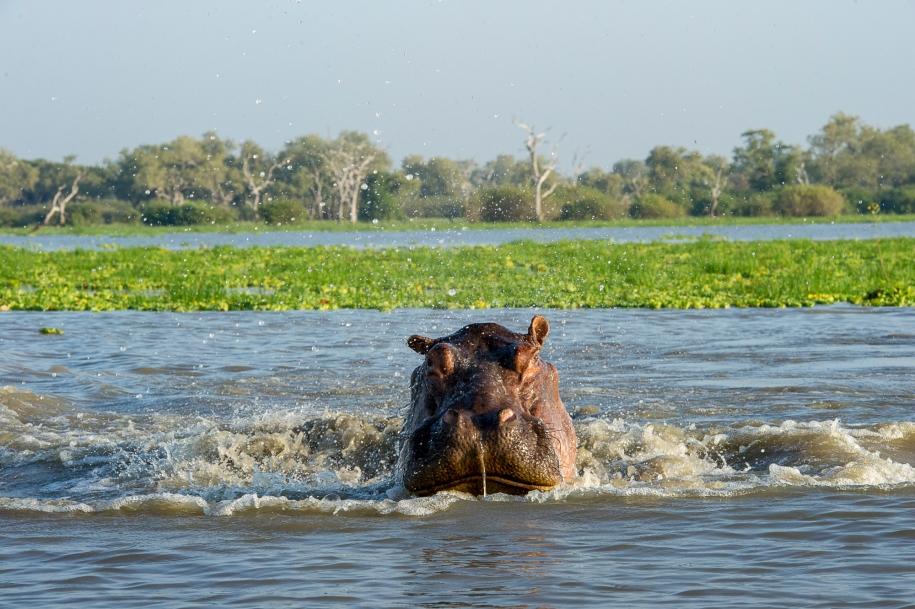 Selous Hippo